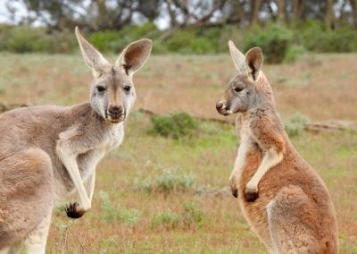 Australia, Kangaroos