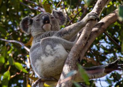 Australia, Koala